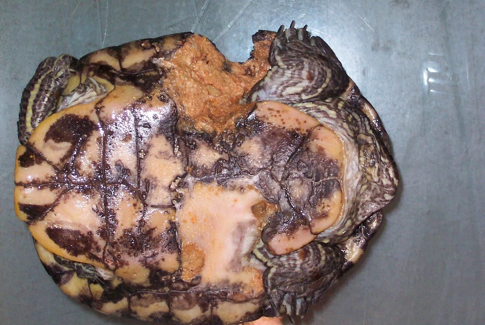 Vlad - Plastron shell rot